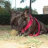 Audrey (girl french bulldog)_001