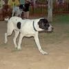 Braco (boy pup)_001