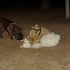 Arenita, layka, French bulldog_001