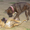 Dana, Boxer puppy girl_001