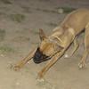 Boxer puppy girl_001