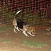 Beagle dog_002
