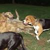 Beagle, Nela, Maya_001