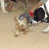 Braco, new dog yorkie_001
