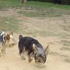 Badi, new dog yorkie_001