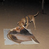 Tyson (boy pup)_009
