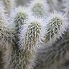 Teddy Bear Cactus