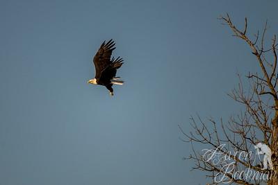 soring eagle 16x24