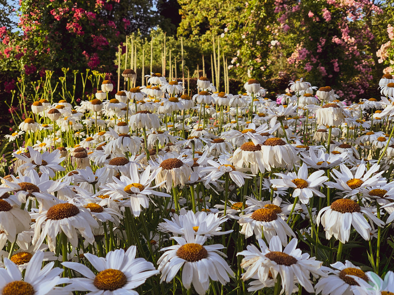Blomster i Corselitze  haven