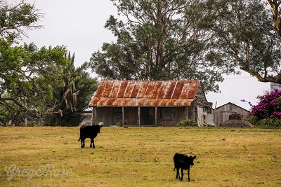 Cows and House Glenbrook
