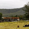 Old barn and cows, Wollombi Rd