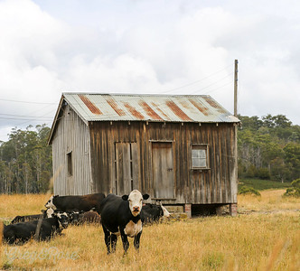 Derelict shed and Cows , Lyell Highway , Tasmania