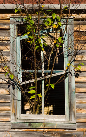 A small tree overtaking an old window frame.  East of The Hiawatha Club