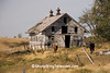 Horses by Dilapidated Barn, Franklin County, Iowa