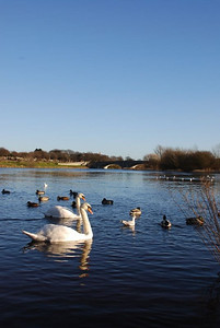 Swans on the River Dee - Aberdeen