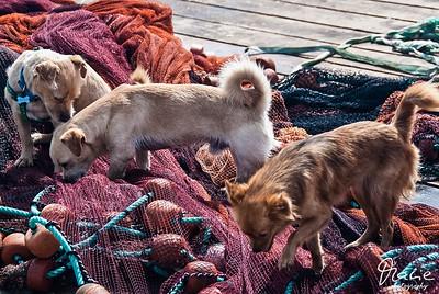 streunende hunde auf fischernetze cabo verde