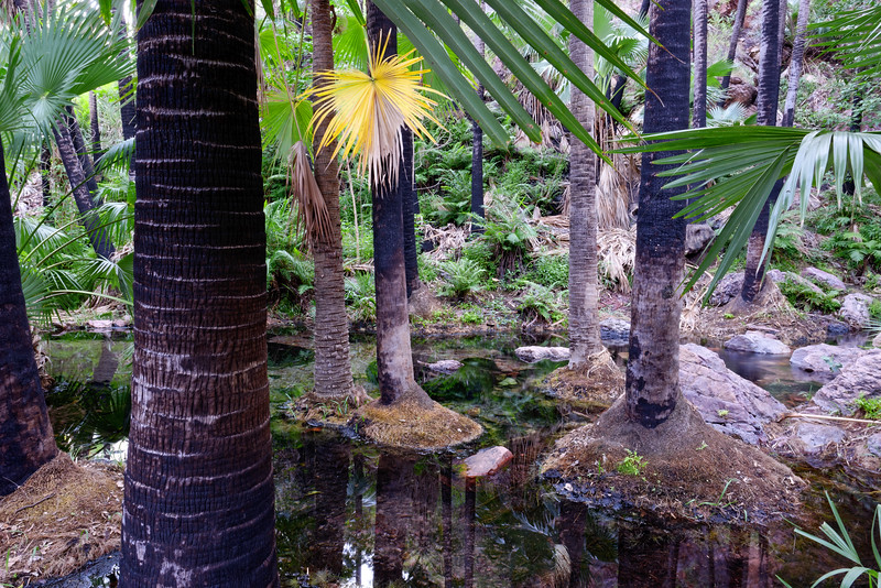 Palmiers dans les sources chaudes de Zebedee Springs. Kimberley/Australie Occidentale/Australie