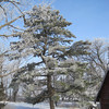 Big Pine at our Farm