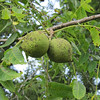 Walnuts on a mature walnut tree