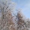 Oak Trees in Hoarfrost