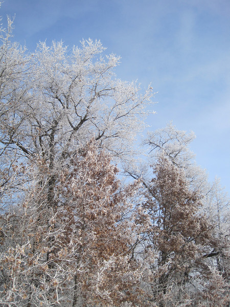Oak Trees in Hoarfrost