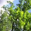 White Oak tree with Fresh New Leaves in the Spring