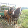 Team of Horses with Silage Load