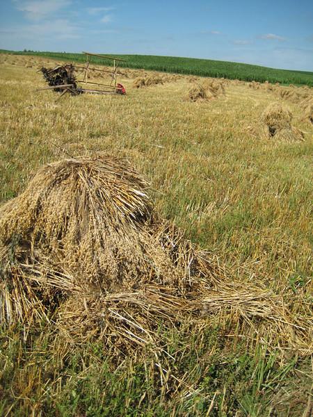 amish-summer-hay