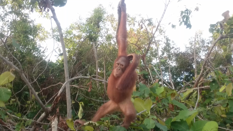 Curious orangutan awaiting release after rehabilitation. Indonesian Borneo, 2017.