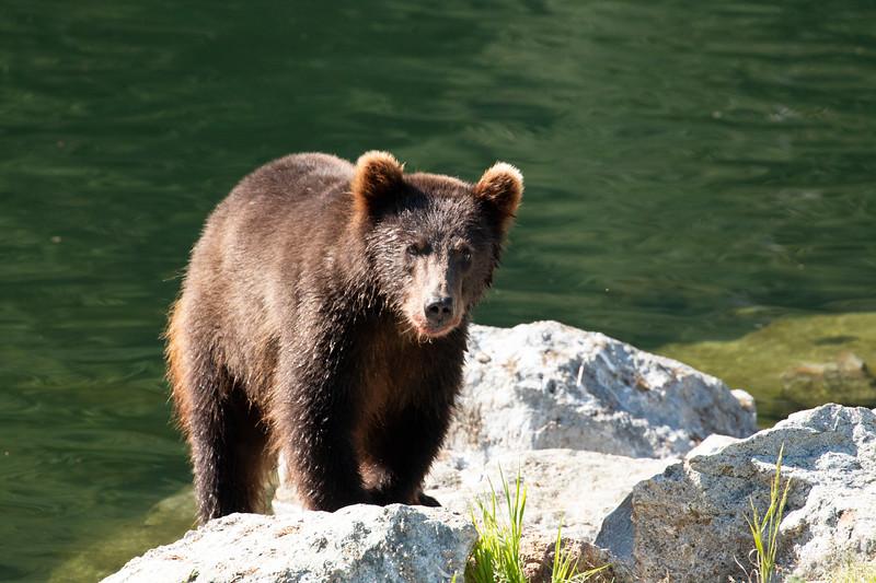Brown bear.  Alaska, 2018.