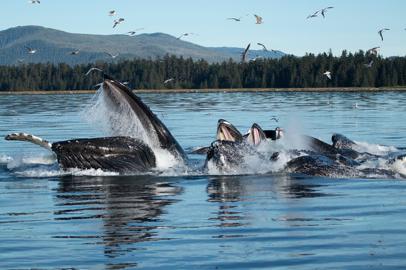 A group of bubblenet feeding humpback whales during lunge. Alaska, 2018.