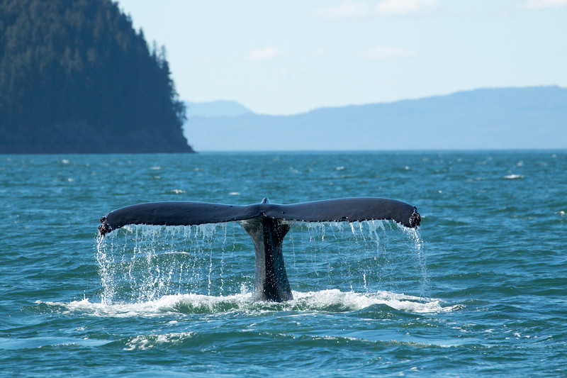 Humpback whale diving deep. Alaska, 2018.