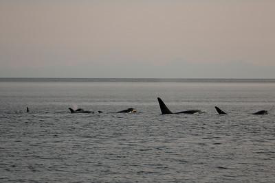 Killer whales. Alaska, 2018.