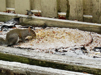 One of the neighborhood squirrel feeding on my patio