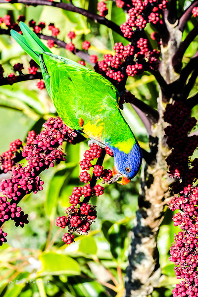 I have been told this is an Australian Lorikeet by D La'on Bradford. It was beautiful!