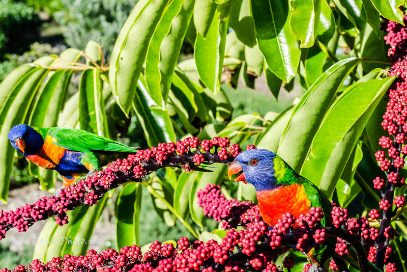 This is my best photo of the Lorikeet!