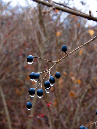 January 20, 2010. Morning dew on winter berries, Woods Hole.