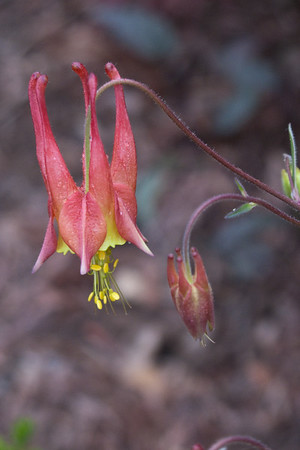May 1, 2009: Liz Anker's garden in JP - pink/yellow Columbine. Sweet thing, like a dancing fairy.