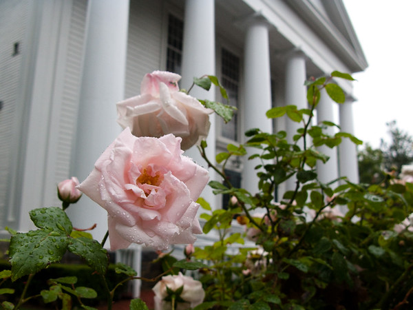 July 2, 2009. Edgartown rose, misty morning, Beautiful Old Church of Whaling Days in background..