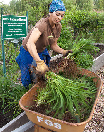 "May 9, '09, Fenway Victory Gardens, established in 1942. Marie is transferring freshly divided clusters from the morning's community ""divide""  into the transplant nursery, to be shared among the Fenway Garden Society members. Marie's husband is president of FGS. Today we could hear the cheers from nearby Fenway Park - the Red Sox must have been doing something right (though I would hear later that they lost to Tampa Bay)."