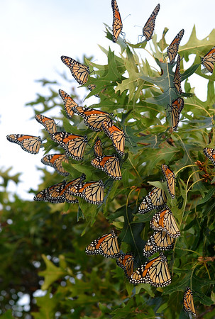 "August 2007. Last evening, after photographing a family in Aquinnah, while sitting and catching my breath after having spent the previous hour chasing three adorable little boys - a six year-old and four-year-old twins - all over the beach with my camera, I noticed a couple of monarchs flitting about near a shrub oak. As I observed for a few minutes, I realized there were many monarchs, seemingly focused on one area of the tree. When I went to inspect the situation, I found what appeared to be a community resting place - this little north shore Island oak perhaps being an overnight stop on the monarchs' long-distance migratory flight?<br /> <br /> PS - I found interesting monarch migration info, here: <a href=""http://www.learner.org/jnorth/tm/monarch/AboutFall.html"">http://www.learner.org/jnorth/tm/monarch/AboutFall.html</a>"