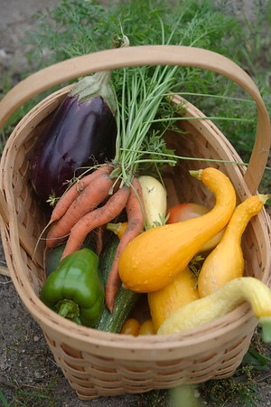 "August 26, 2007. Harvesting from my now-deer-proof garden (yay!); best garden in some years. As the story goes: A man was tending to his garden. A passerby stopped to admire the flowers and vegetables and commented, ""My, doesn't our Creator do marvelous work!"" The gardener replied, ""Yes, but you should have seen the place when G-d was running it alone."""