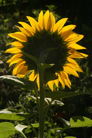 SSDD=Same sunflower, different day. August 30, 2007.