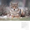 Snowy Coyote