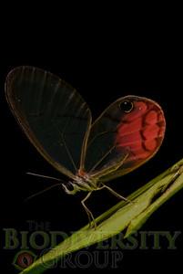 Nymphalidae. cf. Ithomiinae Cityaerias sp.  Bosque Protector La Perla near the town of La Concordia, Ecuador.