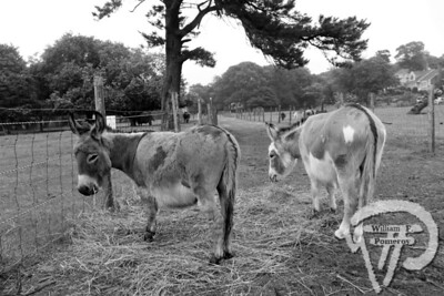 Donkeys graze in a field.If you goWHAT: Taylor-Bray FarmWHERE: 108 Bray Farm Road North (Off Route 6A), Yarmouth PortWHEN: Dawn-Dusk dailyCOST: FreeINFORMATION: taylorbrayfarm.org Cape Cod Day JULY 6, 2010page 13