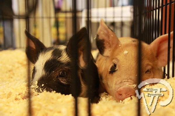 """HOME GROWNTwo-week-old purebred Berkshire and Tamworth pigletsvisited the Harwich Community Center last Saturday at""""Meet Your Local Farmers,"""" an event sponsored by HarwichConservation Trust and Cape and Islands Farm Bureau. Harwich Oracle MARCH 16, 2011front cover"""