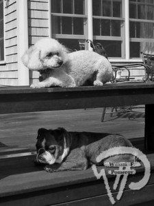 CAPE COD PET GAZETTEreader submitted photosAbigail and Grendel,cockapoo and English bulldog, Orleans FALL 2009  LOWER CAPE * CAPE COD PET GAZETTE page 17