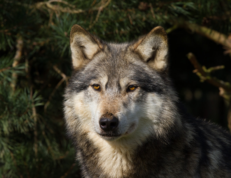 Male Wolf