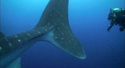 Chasing a Whale Shark in Galapagos